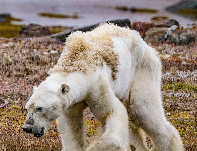 خرس قطبی رو به مرگ